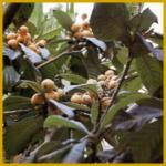Japanmispel, gehört von Natur aus zu den Obstgehölzen
