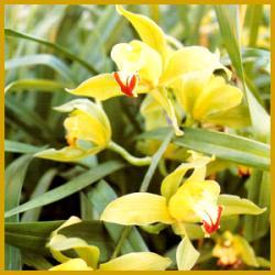 Kahnlippe Cymbidium gehört in jede Orchideensammlung