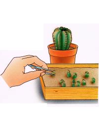 Kakteen durch Samen vermehren