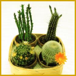 Pflanzenfamilie der Kakteen