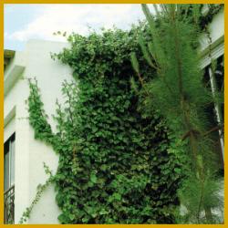 Kanarischer Efeu ist eine ideale Zimmerpflanze