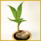 Kokospalme, braucht Wärme, viel Licht und feuchte Luft
