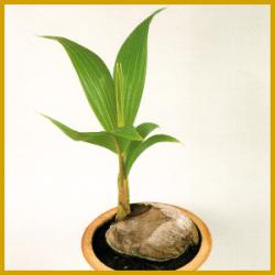 Kokospalme, eine sehr hübsche Zimmerpflanze