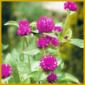 Kugelamarant, zum Trocknen eignet sich diese Blume besonders gut