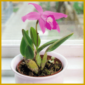 Laelie, eine der schönsten Topforchideen, kann viele Jahre alt werden