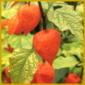 Lampionblume, ein hübscher Schmuck in Trockensträußen