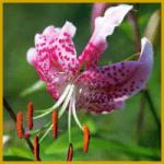 Lilien sind edle aber auch haltbare Schnittblumen