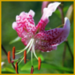 Lilien sind edle aber auch sehr haltbare Schnittblumen
