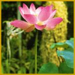 Lotosblume, eine mehrjährige Wasserpflanze