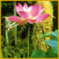 Lotosblume, eine mehrjährige Wasserpflanze, auch für den Gartenteich