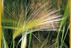 Mähnengerste, ein höchst dekoratives Gras