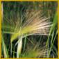 Mähnengerste, ein höchst dekoratives Gras, am besten in der Sonne