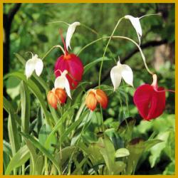 Masdevallie ist eine Orchidee der besonderer Art