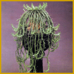 Medusenhaupt, eine sukkulenten Euphorbien-Art