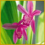 Mikadoblume, gehört zu den Erdorchideen