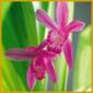 Mikadoblume, gehört nicht zu den besonders schwierigen Orchideen