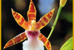 Miltonie, gehört zu den gängigsten Orchideen