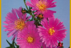 Mittagsblume, eine Sukkulente mit prächtigen Blüten