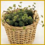 Monanthes, eine einfach zu haltende Sukkulente