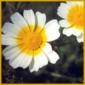 Mutterkraut, gehört zu den einjährigen Sommerchrysanthemen
