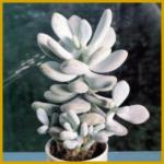 Nabelkraut, eine Sukkulente mit dicken, fleischigen Blättern