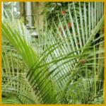 Nikanpalme, aufrechter Stamm und gleichmäßige Wedel