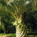 Ölpalme, eine interessante, dekorative Pflanze