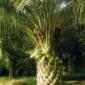 Ölpalme, eine interessante, dekorative Pflanze, kann sehr alt werden