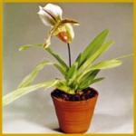 Orchideenkrankheiten und ihre verschiedenen Symptome