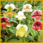 Vermehrung von Orchideen, verschiedene Möglichkeiten
