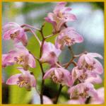 Orchideenzucht, muss nicht immer teuer sein