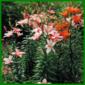 Orientalische Lilien benötigen ein luftfeuchtes, mildes Klima
