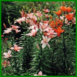 Orientalische Lilien zählen zu den schönsten Lilien