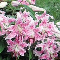 Orientalische Lilien