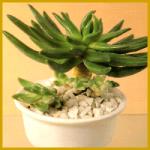 Pachyveria ist eine Kreuzung aus zwei Dickblattgewächsen