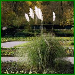 beet mit pampasgras, gartenschlumpf | pampasgras, ziergras (cortaderia selloana) als, Design ideen