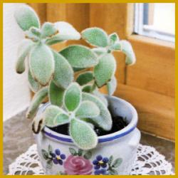 Pandapflanze, einmalig unter den Sukkulenten