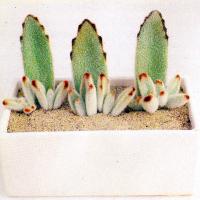 Pandapflanze