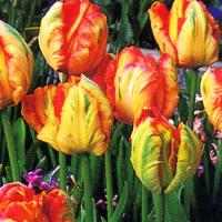 Papagei-Tulpen gedeihen am besten, wenn sie im Beet bleiben