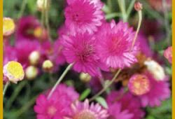 Papierblume, eine einjährige Pflanze, etwa 40-50 cm groß