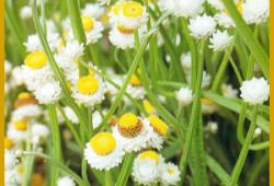 Papierknöpfchen gehören zu den schönsten Trockenblumen