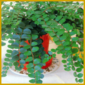 Pellefarn oder auch Rundblattfarn, robuster Zimmerfarn