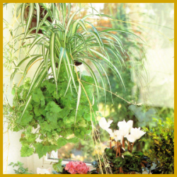 Pflanzen für grüne Anfänger z.B. Clivien und Zimmerlinden