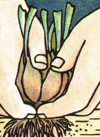 Pflanzen Teilen