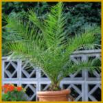 Phönixpalme, eine anspruchslose Palme, einfache Pflege