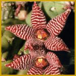 Piaranthus oder auch Seidenpflanzengewächs