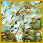 Plattährengras, gehört zu den mehrjährigen Gräsern