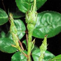 Rosenschädlinge