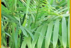 Rotangpalme, gehört zu den seltenen Palmen