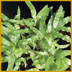 Saumfarn ist eine graziöse pflegeleichte Zimmerpflanze